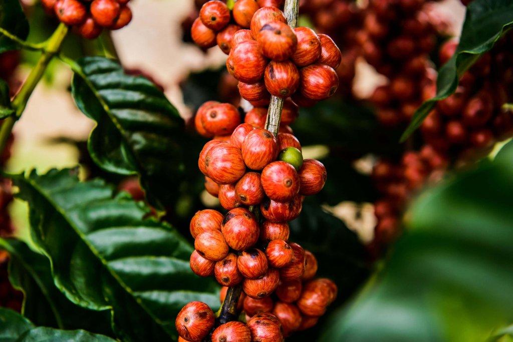 Crédito para incentivar a melhoria da qualidade do café