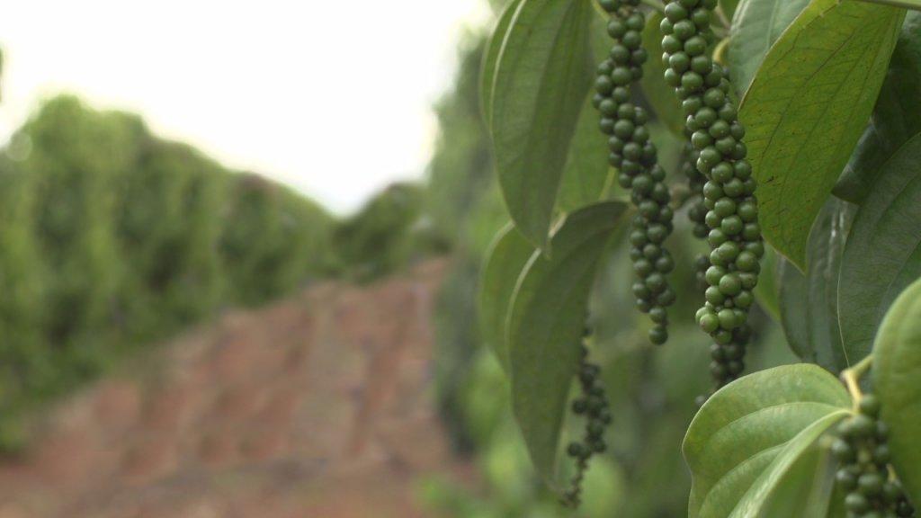 Técnica promove economia e melhora qualidade no cultivo de pimenta