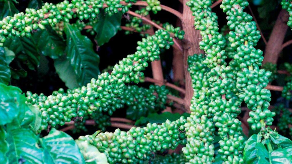 Conhecimento técnico ajuda produtores a melhorarem desempenho das lavouras de café